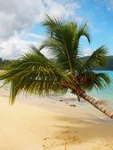 Lutande palmträdet på rincon beach, samana halvön — Stockfoto