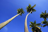 Leaning palm trees at Las Galeras beach, Samana peninsula — Stock Photo