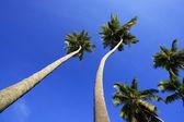 Lutande palmer på stranden las galeras, samana halvön — Stockfoto