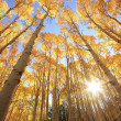 Stock Photo: Aspen trees with fall color, SJuNational Forest, Colorado