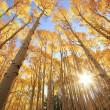 Aspen trees with fall color, San Juan National Forest, Colorado — Stock Photo