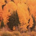 Aspen forest in a fall, Colorado — Stock Photo