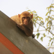 Rhesus Macaque on the roof of a bus stop, New Delhi — Stock Photo