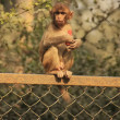Rhesus Macaque eating carrot, New Delhi — Stock Photo #32726359