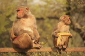 Rhesus Macaques sitting on a fence, New Delhi — Stock Photo