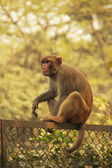 Rhesus Macaque sitting on a fence, New Delhi — Stock Photo