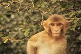 Retrato de macaco rhesus jovens, nova deli — Fotografia Stock