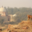Rhesus macaques walking at Tughlaqabad Fort, New Delhi — Stock Photo