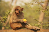 Rhesus Macaque eating an apple, New Delhi — Stockfoto