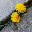 Dandelion flowers growing through crack in asphalt — Stock Photo