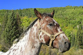 Portrait of american quarter horse, Rocky Mountains, Colorado — Stock Photo
