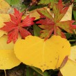 Close up of colorful leafs with fall color — Foto Stock