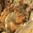 Eastern Fox Squirrel sitting on tree — Stock Photo #34032553