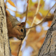 Eastern Fox Squirrel sitting on tree — Stock Photo #34032769