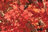 Detailní záběr červený javor — Stock fotografie