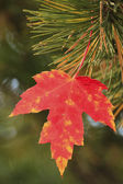 Close up of red maple leaf — Stockfoto
