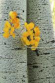 Gelbe aspen blätter mit aspen baum stamm, rocky mountains, colo — Stockfoto