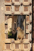 Rhesus macaque sitting on gate of Taragarh Fort, Bundi, India — Stock Photo
