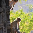 Stockfoto: Rhesus macaques playing at gate of Taragarh Fort, Bundi, Ind