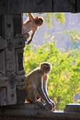 Rhesus macaques playing at the gate of Taragarh Fort, Bundi, Ind — Stock Photo