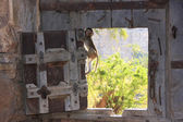 Rhesus macaque playing at the gate of Taragarh Fort, Bundi, Indi — Stock Photo