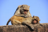Rhesus macaques grooming each other,Taragarh Fort, Bundi, India — Stock Photo