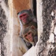 Stockfoto: Rhesus macaques sitting in window of Taragarh Fort, Bundi, Ind