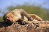 Rhesus macaque laying at Taragarh Fort, Bundi, India — Stock Photo
