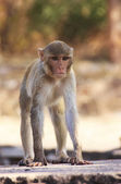 Rhesus macaque playing at Taragarh Fort, Bundi, India — Stock Photo