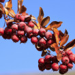 Stock Photo: Pacific Crabapple tree (Malus Fusca)