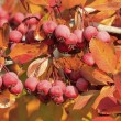 Pacific Crabapple tree (Malus Fusca) — Stock Photo
