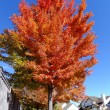 Maple tree with fall color — Stok fotoğraf
