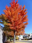 Maple tree with fall color — Stock Photo