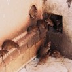 Holy rats running around Karni Mata Temple, Deshnok, India — Stock Photo #38179863