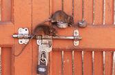 Rats sitting on a door lock, Karni Mata Temple, Deshnok, India — Stock Photo