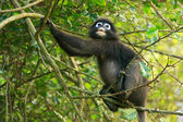 Spectacled langur sitting in a tree, Ang Thong National Marine P — Stock Photo