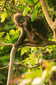 Young Spectacled langur sitting in a tree, Ang Thong National Ma — Stock Photo