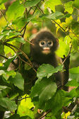 Young Spectacled langur sitting in a tree, Ang Thong National Ma — Foto Stock