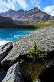 Small pine tree growing on rocks, Lake O'Hara, Yoho National Par — Foto Stock
