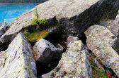 Small pine tree growing on rocks, Lake O'Hara, Yoho National Par — Stock Photo