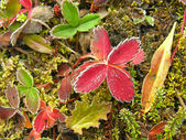 Frosted strawberry leaves, Yoho National Park, Canada — Stock Photo