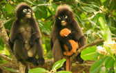 Spectacled langur sitting in a tree with a baby, Ang Thong Natio — Stock Photo
