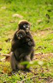 Spectacled langur sitting with a baby, Ang Thong National Marine — Stock Photo