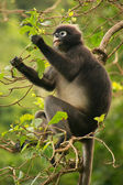 Spectacled langur sitting in a tree, Ang Thong National Marine P — 图库照片