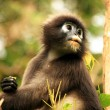 Photo: Spectacled langur sitting in tree, Ang Thong National Marine P