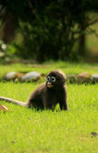 Young Spectacled langur sitting on grass, Ang Thong National Mar — Stock Photo