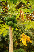 Papaya plant with green fruit — Stock Photo