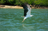 White-bellied Sea Eagle hunting, Langkawi island, Malaysia — Stock Photo