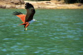 Brahminy Kite flying, Langkawi island, Malaysia — Stock Photo