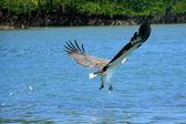 White-bellied zeearenden jacht, eiland langkawi, maleisië — Stockfoto